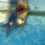金魚のエラ病、症状や原因、治療法