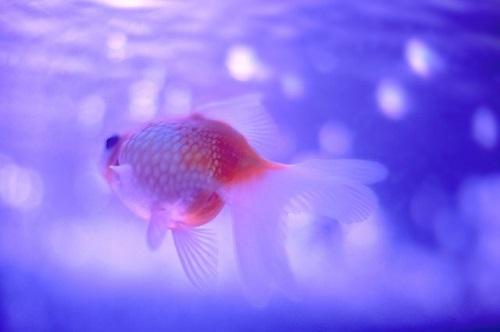 金魚 琉金 値段 大きさ 性格