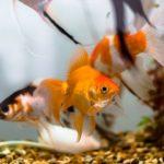 金魚の種類による性格の違いは?