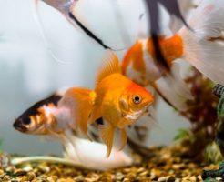 金魚 性格 種類