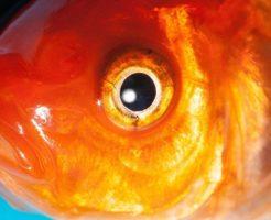 金魚 無精卵 取り方