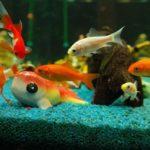 金魚の鮮やかな色!遺伝なのか?