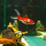 金魚の産卵の時の水温は?水換えや餌は必要?