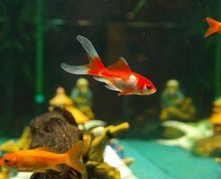 金魚 産卵 水換え 水温 餌