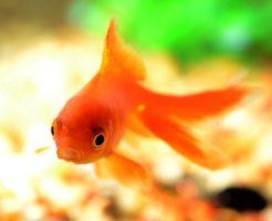 金魚 色揚げ 日光 ライト