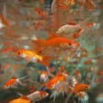 金魚の養殖時期は?方法は?