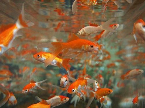 金魚 養殖 方法