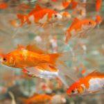 金魚が水槽のガラスにぶつかる原因は?