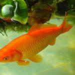 かわいい金魚が巨大化した!恐ろしい理由とは?