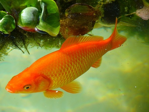 金魚 巨大化 理由