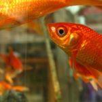 金魚のイジメについての対策