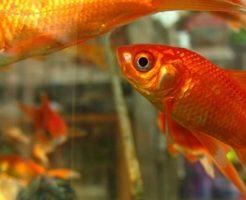 金魚 イジメ 対策