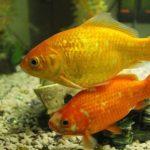 金魚とフナ混泳や交配は出来るの?