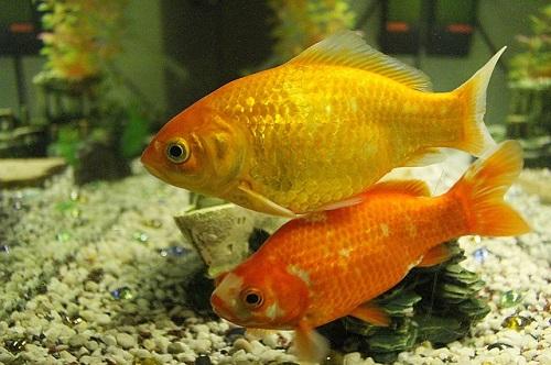 金魚 フナ 混泳 交配
