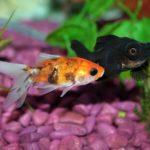 金魚とプレコの相性は?混泳させてもいいの?