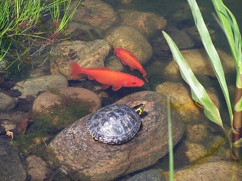 金魚 池 作り方 水質