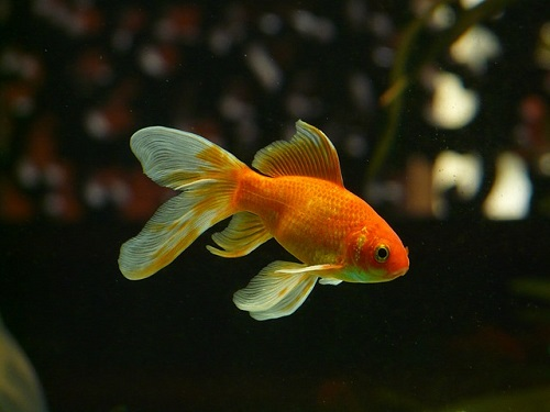 金魚 フン 透明 原因