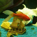 金魚は寝るの?寝るとしたらいつ、どんな寝方なのだろう。