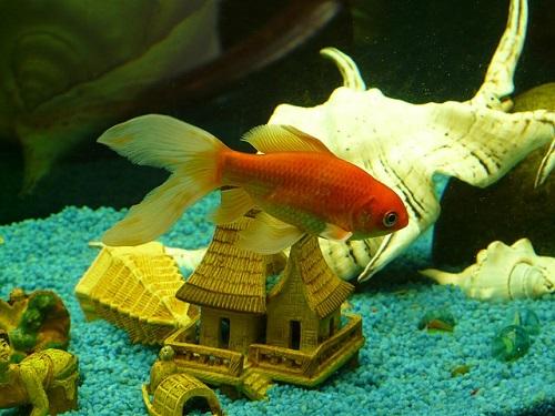 金魚 いつ 寝る 寝方
