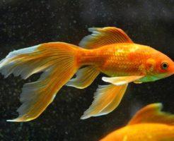 金魚 色 変化 原因