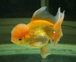金魚 種類 こぶ