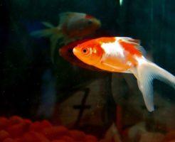 金魚 明るい 暗い
