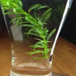 金魚がのびのび過ごせる水草アナカリス
