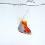 金魚の目が突出!ポップアイの原因と治療や対策