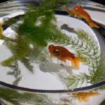 初心者にオススメの金魚用の水草とその量