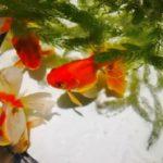 種類の豊富な金魚の水草を用途別で選ぶには?
