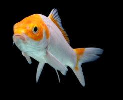 ジキン 金魚 飼育