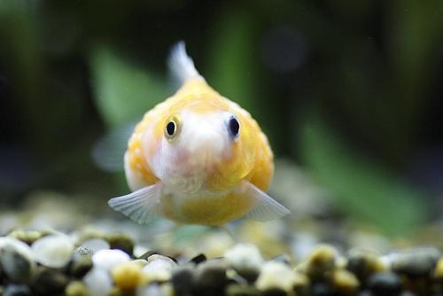 金魚 ピンポンパール 寿命