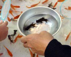 金魚すくい 出目金 取り方 コツ