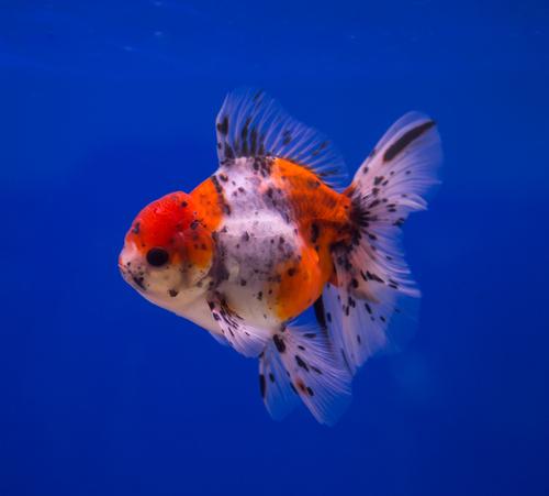 東錦 金魚 値段