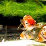 江戸錦の繁殖方法について