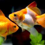 琉金の水槽での飼育方法のコツについて