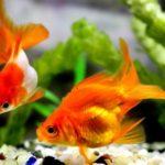 金魚の平均寿命について。琉金の寿命はどれくらい?