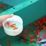 金魚すくいで見る和金の寿命はどれくらい!?