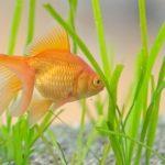 琉金の稚魚の成長過程について。