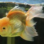 金魚オランダシシガシラの性格は人懐っこい!?