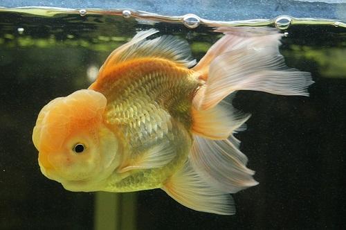 金魚 オランダ獅子頭 性格