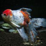金魚東錦の平均寿命について