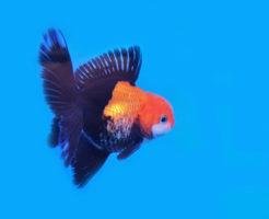 金魚 オランダ獅子頭 寿命