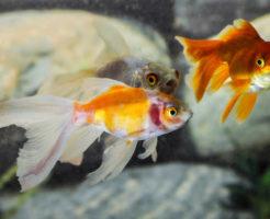 金魚 朱文金 寿命