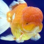 らんちゅうの稚魚の選別基準や選別方法について