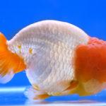 らんちゅうの当歳魚の飼育方法や餌について