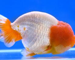 らんちゅう 当歳魚 飼育 餌