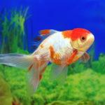 金魚丹頂の体が赤い筋が出来るのって病気?対策方法は!?