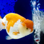 らんちゅうと金魚を同じ水槽で混泳させることって可能なの!?