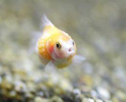 ピンポンパール 餌 おすすめ 沈下